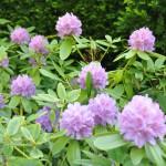 Rhododendron au jardin