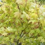 Acer (Erable) Palmatum Ozakazuki