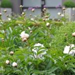 Pivoines blanches et boutons de pivoines roses à floraison légèrement plus tardive