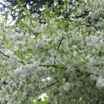 Malus Floribunda (pommier décoratif)