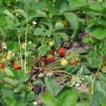 Les fraises au potager