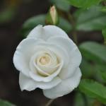 rose Iceberg, floraison de mai à octobre