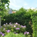 Haie multiple en rhododendrons, Taxus, Tilleuls palissés