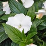 Impatiens de Guinée (fleurs annuelles)