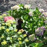 Hortensia en fleurs à la pépinière