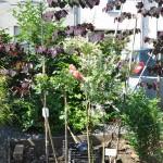 Salix Hakuro Nishiki, rosiers tige et Cercis Canadensis à l'arrière