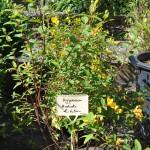 Hypericum Hidcote