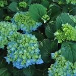 Hortensia Macrophylla bleu en début de floraison