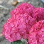 Hydrangea fushia