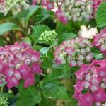 Hydrangea Macrophylla rose