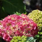 Très jolie couleur d'hydrangea