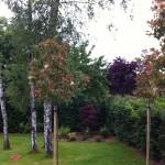 plantations en isolé de beaux sujets: Photinia tige