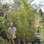 Bambous, tailles diverses
