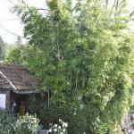 Camélias, bambous