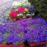 Fleurs vivaces