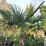 Palmier Chamaerops Trachycarpus