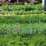 Plantes condimentaires