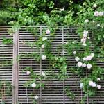 Rosiers grimpants sur treillis en bois, plantes vivaces et fleurs annuelles