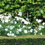 Rosiers Iceberg, en fleurs de mai à octobre