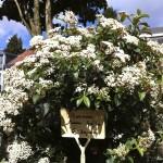 Viburnum Tinus buisson