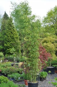 Bambou Phyllostacchys Aurea