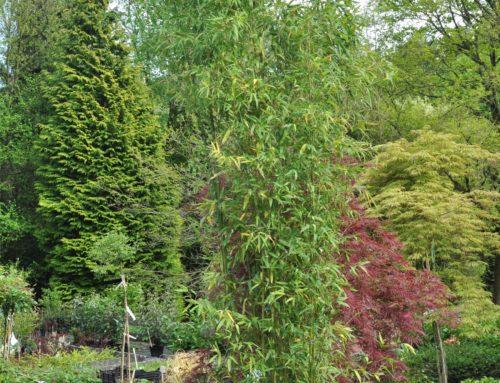Bambou – Phyllostacchys ou Pseudosasa Japonica ou Pleioblastus