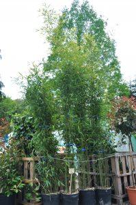 Grand bambou Pseudosasa Japonica