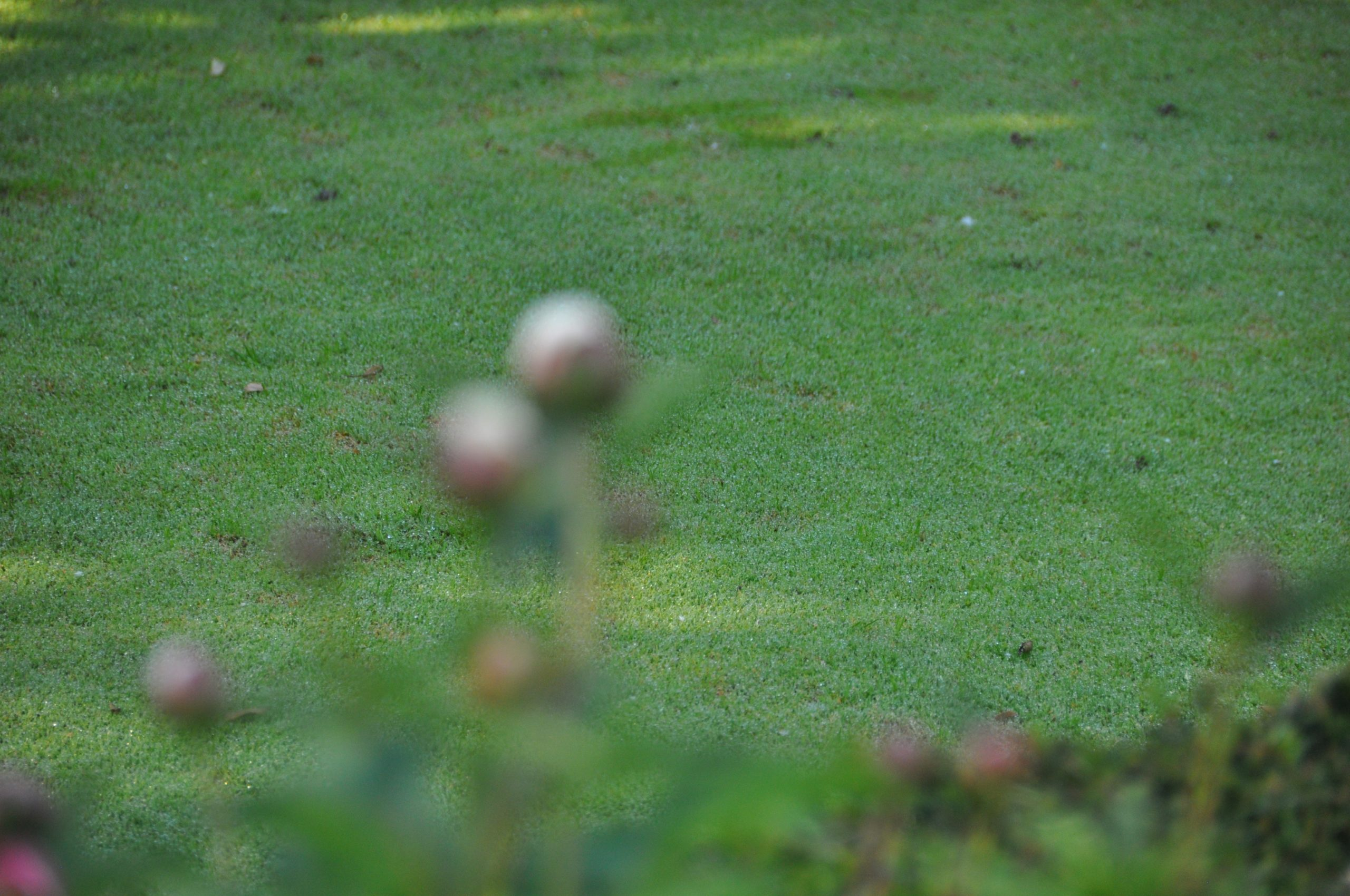 Les semis de gazon